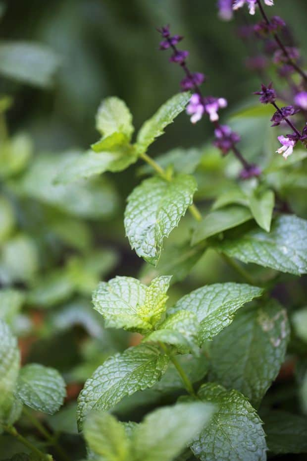 Organic mint plant in my garden